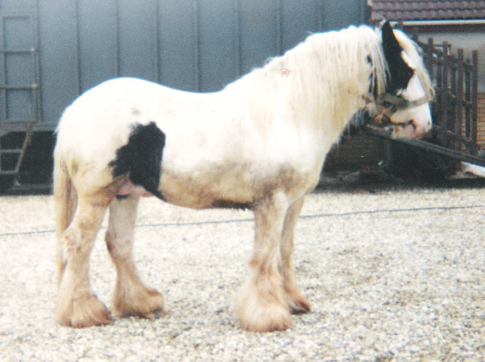 The White Horse, Gypsy Vanner Horse stallion in the UK