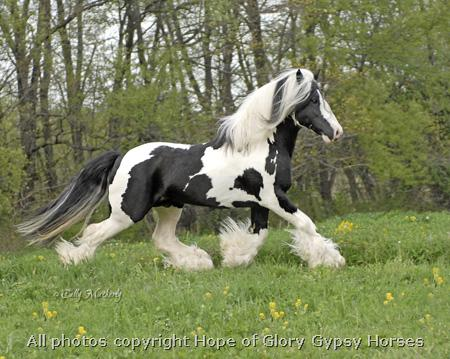 Royal, 1999 imported Gypsy Vanner Horse stallion