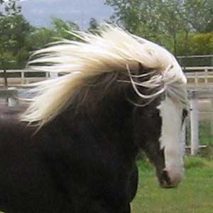 St. Clarins, 2002 imported Gypsy Vanner Horse stallion