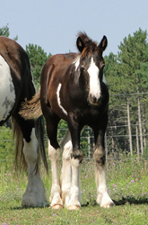 Feathered Gold Sunday's Best, 2010 Gypsy Vanner Horse filly