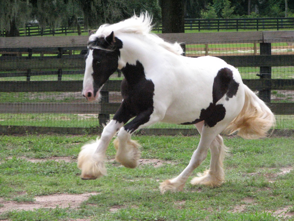 MMV Petal's Sunsprite Rose, 2017 Gypsy Vanner Horse filly