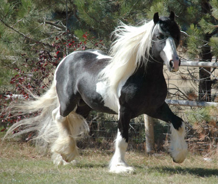 Taliesin, imported Gypsy Vanner Horse stallion