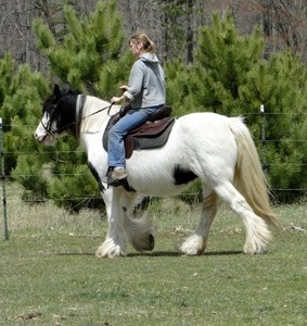 The Madam of Feathered Gold, 2005 improted Gypsy Vanner Horse mare