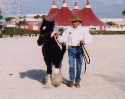 Tinker Toy, Gypsy Vanner Horse stud colt
