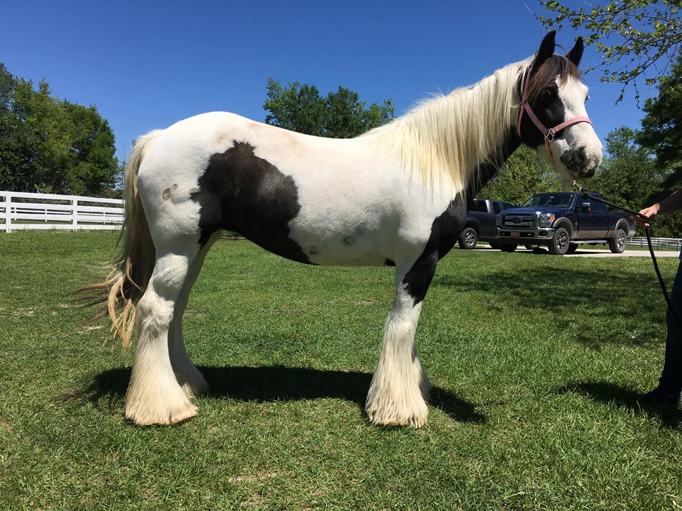 GG I Dream of Trinket, 2007 Gypsy Vanner Horse mare