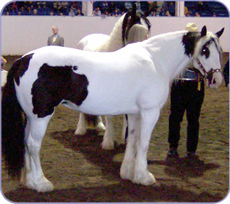Bodi, imported Gypsy Vanner Horse mare