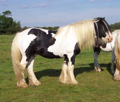 Chief, Gypsy Vanner Horse stallion in the UK