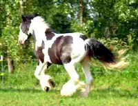Charles Dickens, imported Gypsy Vanner Horse gelding