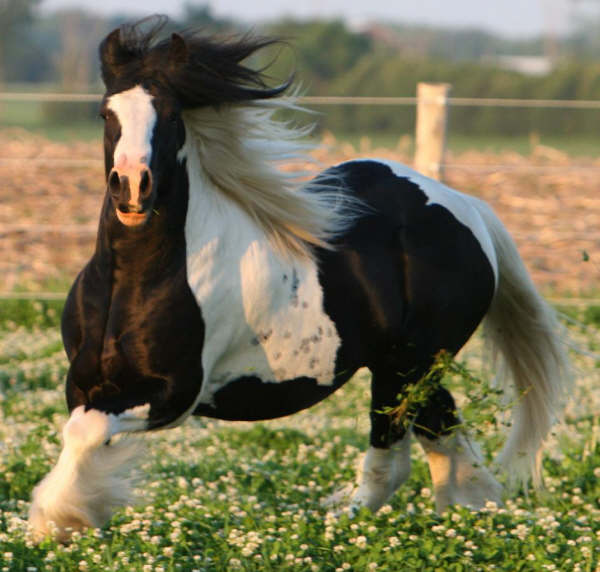 Jelle Go Go, imported 2006 Gypsy Vanner Horse colt