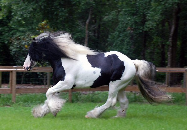 D'Jango Jazz of Lion King, 2004 imported Gypsy Vanner Horse stallion