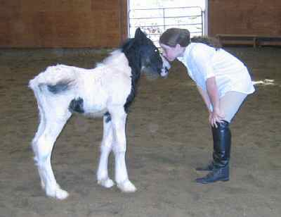 Pan, Gypsy Vanner Horse colt