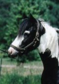 Prince Charming, imported Gypsy Vanner Horse colt