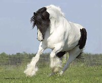 SamSam, imported Gypsy Vanner Horse mare