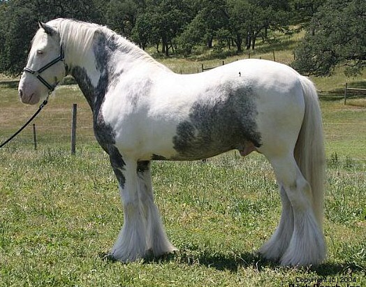 Tom Boy, 1995 importe Gypsy Vanner Horse stallion