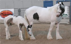 Yaven and Oochipe, Gypsy Vanner Horse mare & foal