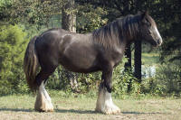 Bob the Blagdon's Ivalace, 2006 imported Gypsy Vanner Horse filly