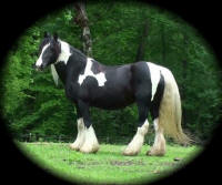 Joanie, 2000 imported Gypsy Vanner Horse mare