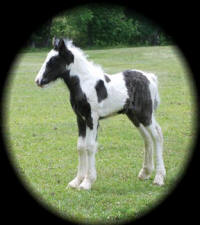 Lady Luck with Diamonds, 2008 Gypsy Vanner Horse filly