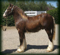 Cici's Sir Keith, 2007 Gypsy Vanner Horse colt