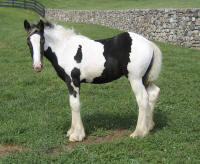 EBV Kendall Jackson, 2009 Gypsy Vanner Horse filly