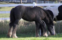 Kizzi, 2007 Gypsy Vanner Horse filly