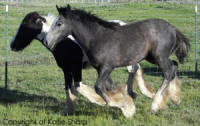 Bobbi and Kizzi, Gypsy Vanner Horse mare and her 2007 filly
