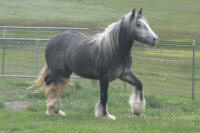 Kizzi, Gypsy Vanner Horse filly
