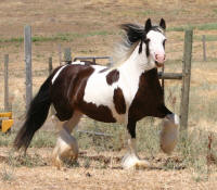 Laragh, 2002 imported Gypsy Vanner Horse mare