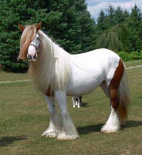 Lily of Canterbury, imported Gypsy Vanner Horse mare