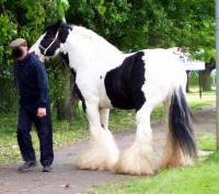 The Lion King, imported Gypsy Vanner Horse stallion