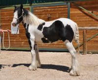 Perfect Storm's Merlin, 2010 Gypsy Vanner Horse colt