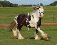 Superior's Over The Moon, 2010 Gypsy Vanner Horse stallion
