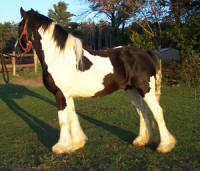 Phenomenon of Feathered Gold, imported Gypsy Vanner Horse gelding