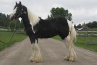 Producer's Poser, 2008 Gypsy vanner Horse colt