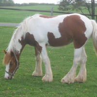 ABC Royal Reign, Gypsy Vanner Horse filly