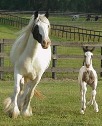 Rawnie & Gidion, Gypsy Vanner Horse mare & colt
