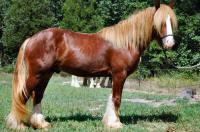 Royal's Red Son Rising, 2006 Gypsy Vanner Hors stallion
