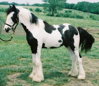 Romeo Royale, Gypsy Vanner Horse colt