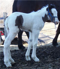 GG Roxy Bok, 2006 Gypsy Vanner Horse filly