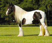 Three Blagdons, imported Gypsy Vanner Horse mare