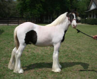 5 B's, 2008 Gypsy Vanner Horse colt