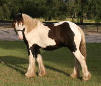 BB's Lucky Charm, 2007 Gypsy Vanner Horse colt
