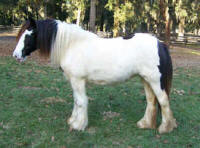 Down's Delight, 2006 Gypsy Vanner Horse filly
