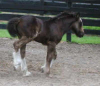 GG Shampoo Filly, 2008 Gypsy Vanner Horse foal