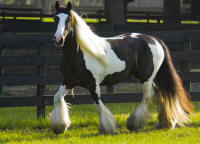 The Love Heart Mare, 1998 imported Gypsy Vanner Horse mare