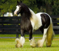 The Vincent Mare's Filly, imported Gypsy Vanner Horse mare