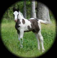 Selina, 2007 Gypsy Vanner Horse filly