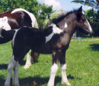 Magnolia's Sparkle, 2004 Gypsy Vanner Horse filly