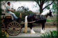 St Clarins, 2002 imported Gypsy Vanner Horse stallion