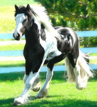 Rawlings Sterling Prince, 2006 Gypsy Vanner Horse colt